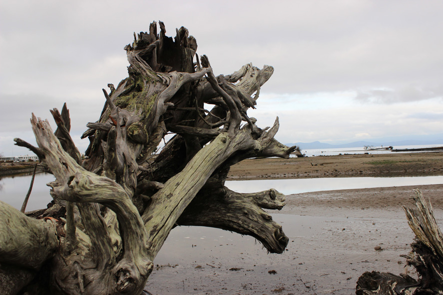 twisted tree trunk on a beach in the Englishman River Estuary
